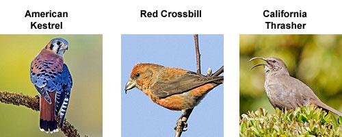 American Kestrel, Red Crosbill and californai Thrasher