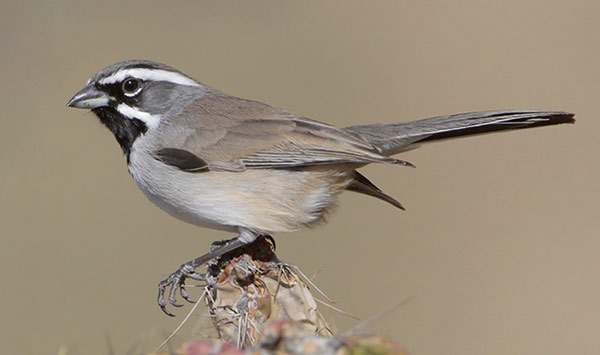 Black-throated Sparrow, side view