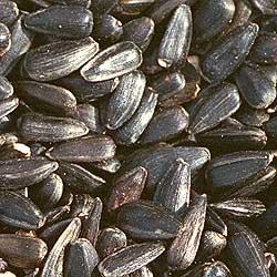black_oil sunflower bird seed