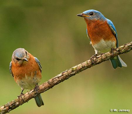 Bluebirds In New York New York Birds