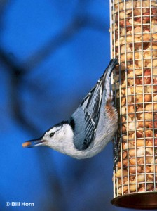 white-breasted nuthatch on peanut feeder