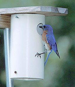 Styles and Specification of Bluebird Nest Boxes : New York Birds ...