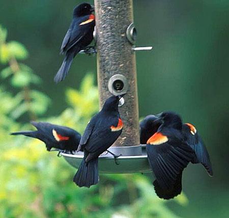 red-winged blackbirds at feeder