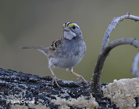 White-throated sparrow eating suet