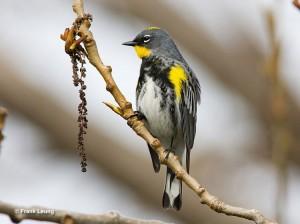 Audubon race of the Yellow-rumped Warbler.